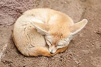 Desert fox or fennec fox (Vulpes zerda) sleeps curled up on the ground, zoo, Ueckermünde, Szczecin Lagoon, Mecklenburg-Western Pomerania, Germany, Europe