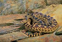 BULLSNAKE..Central North America..Pituophis melanoleucus sayi.