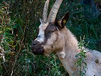 Ziege,  Meraner Höhenweg, Algund bei Meran, Region Südtirol-Bozen, Italien, Europa<br /> goat, Merano High Route, Lagundo near Merano, Region South Tyrol-Bolzano, Italy, Europe