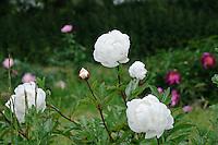 Paeonia 'Bayadere' (Peony)