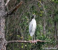 0111-0963  Wood Stork Perched in Tree, Mycteria americana  © David Kuhn/Dwight Kuhn Photography