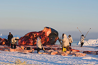 Inupiaq subsistence whalers sort out shares of bowhead whale, Balaena mysticetus, muktuk (strips of skin and blubber) for family, friends and villagers of Barrow, Alaska, Chukchi Sea
