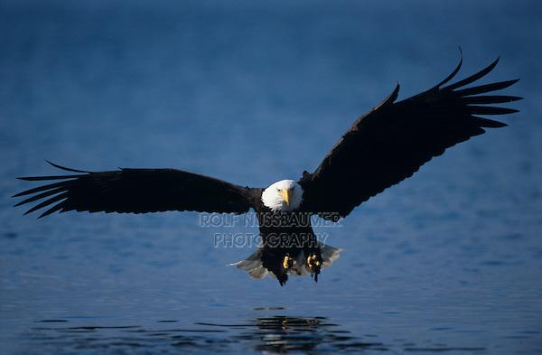 Bald Eagle, Haliaeetus leucocephalus,adult in flight fishing, Homer, Alaska, USA