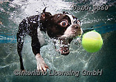 REALISTIC ANIMALS, REALISTISCHE TIERE, ANIMALES REALISTICOS, dogs, paintings+++++SethC_Rocco_MG_7632highrevBOOK,USLGSC60,#A#, EVERYDAY ,underwater dogs,photos,fotos ,Seth