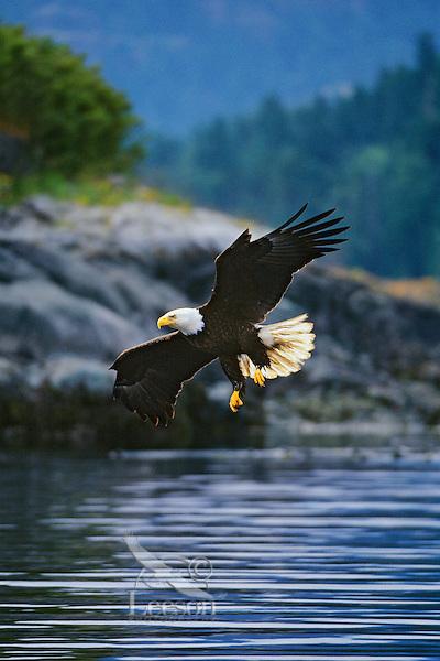 Bald Eagle flying coastal waterway.  Pacific Northwest.