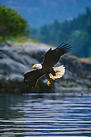 Bald Eagle flying coastal waterway.  Pacific Northwest.