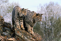 BOBCATS. Male on right, female on left. Spring. Rocky Mountains. (Felis rufus).