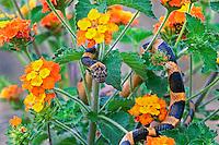 413310015 a wild northern cat-eyed snake leptodeira septentrionalis coils among texas lantana lantana horrida a native texas wildflower in the lower rio grande valley of south texas
