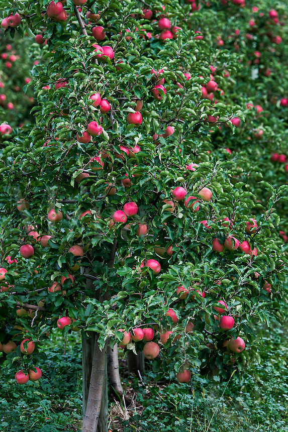 Apple orchard, Lancaster, Pennsylvania, USA