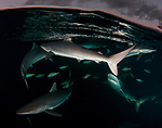 As the sun sets, sharks surface to feast, Carcharhinus falciformis, Cuba Underwater, Gardens of the Queen, Sunlit silky sharks at the surface, Sharknado, feeding frenzy