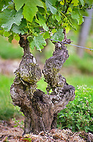 A very old vine in the Clos de l'Echo vineyard of Couly Dutheil in Chinon, INDRE ET LOIRE FRANCE