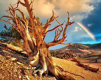 Widely branching Bristlecone Pine and rainbow. Ancient Bristlecone Pine Forest, California.