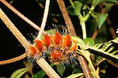 Rio Mazan, Cuenca, Equador. Saturnic Caterpillar curled up on plant stalk.