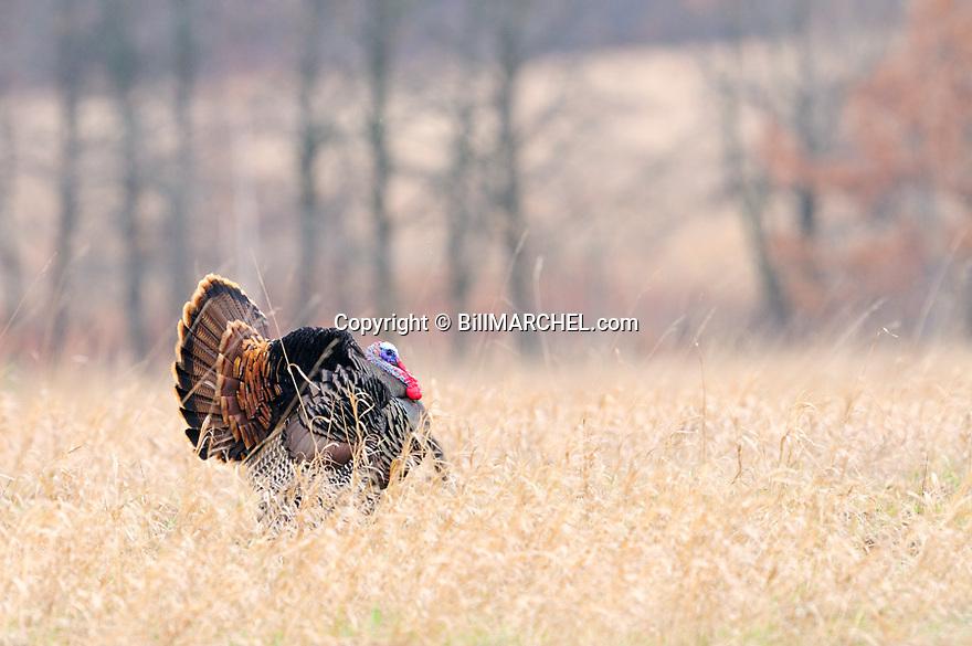 01225-113.14 Wild Turkey tom is strutting in grassy field in early spring.  CRP, food, farm,