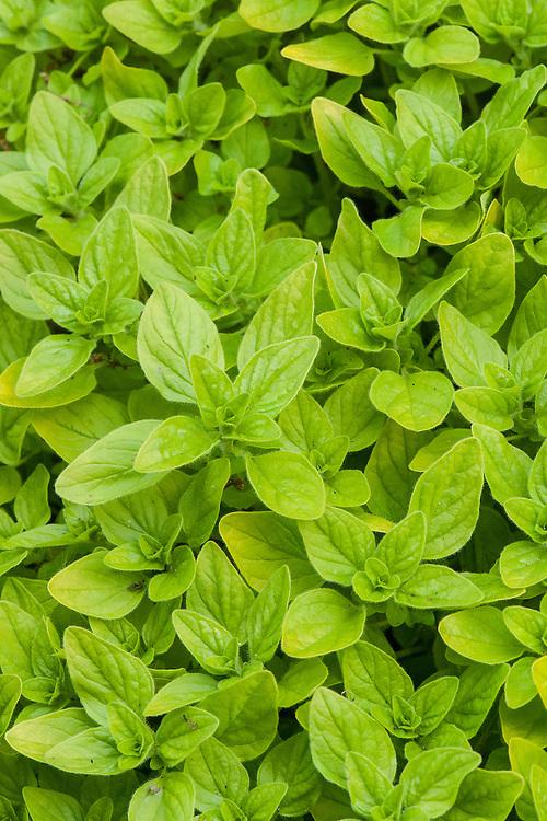 Origanum vulgare 'Thumble's Variety', late May.