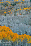 Aspen, Populus tremuloides, Dixie National Forest, Utah