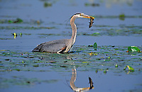Great Blue Heron fishing for brown catfish/bullhead. Predator/prey. Spring. Series 3/6. British Columbia, Canada. (Ardea herodias).
