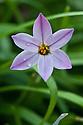 Pink-purple spring starflower (Ipheion uniflorum 'Charlotte Bishop'), late February.