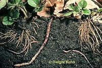 1Y01-170z  Earthworm, crawling through soil
