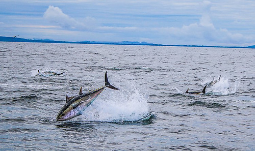 File image of bluefin tuna in Donegal Bay (Photo: David Morrissey)