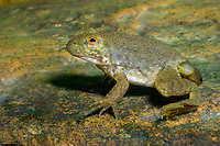 Bullfrog Tadpole (Lithobates catesbeianus or Rana catesbeiana) With limbs fully grown and just a short tail remaining,this frog is approaching its final transition from tadpole to adult frog. (do) (c)