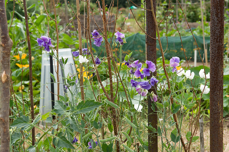 Sweet peas in the foreground of an allotment plot, mid July.