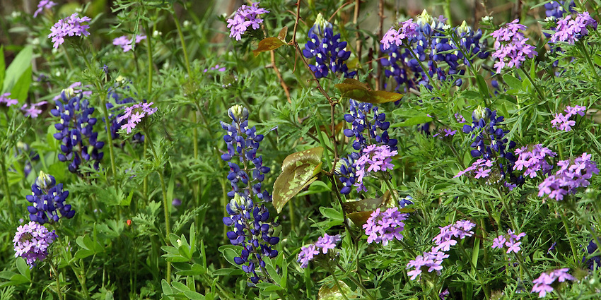 Spring mix of Bluebonnet & Wild Verbena, Central Texas in late March.