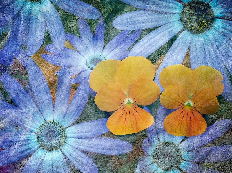 Blue Cineraria and orange violet flowers.