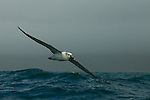 White-capped Albatross (Thalassarche steadi) gliding over ocean, Kaikoura, South Island, New Zealand
