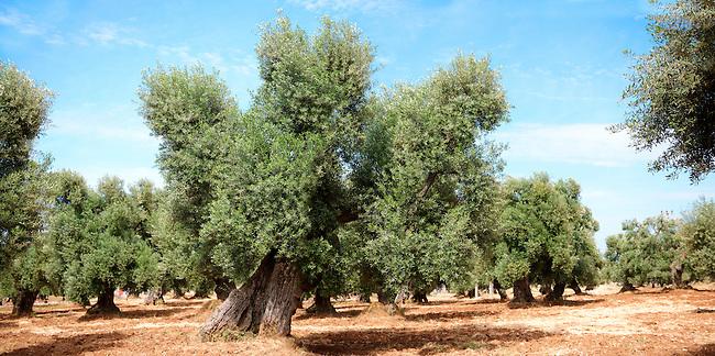 Ancient Cerignola olive trees  of Ostuni, Puglia, South Italy.