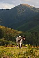 Europe/France/Aquitaine/64/Pyrénées-Atlantiques/Pays-Basque/Env d' Itxassou: Pottok en paturage sur les pentes du Mont Artzamendi 926 m, et Pyrénées basques //  France, Pyrenees Atlantiques, Basque Country, Itxassou,  Pottok in grazing on the slopes of Mount Artzamendi 926 m, and Basque Pyrenees