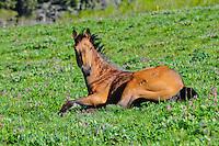 Buck skin horse lying in a wildflower covered meadow on Cut Bank Creek, Montana Blackfeet Reservation.