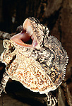 Frill-necked lizard gapes and displays its cape, Australia