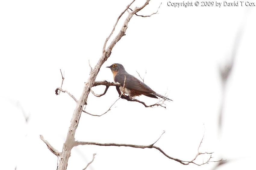 Fan-Tailed Cuckoo, near Arkaroo Rock,  Flinders Range, SA, Australia