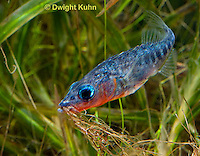 1S31-513z   Male Threespine Stickleback, Mating colors showing bright red belly and blue eyes, carrying nest material in his mouth, Gasterosteus aculeatus,  Hotel Lake British Columbia