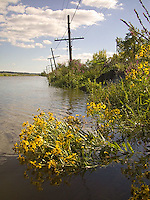 Yellow flowers in water with utility poles in background<br />