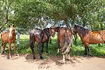 Horses Near Ahu Huri a Urenga