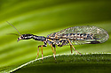 Snakefly {Phaeostigma notata}. Nordtirol, Tirol,  Austrian Alps, Austria, June.