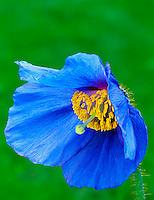 Himalayan poppy (meconopsis x sheldonii). Near Monroe, OR