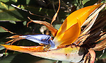 A honeybee diligently explores a bird of paradise flower after nectar.