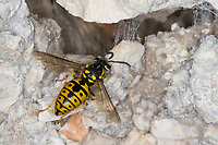 Deutsche Wespe, Wespe, Wespen, Weibchen, Vespula germanica, Vespa germanica, Paravespula germanica, German wasp, European wasp, German yellowjacket, wasp, wasps, female, La guêpe germanique, la guêpe européenne, la guêpe, Kroatien, Croatia