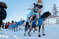 Frosted up after a run in sub-zero temps Ray Redington Jr. dogs are still ready to run after Ray checks in at the checkpoint in Manley Hot Springs during the 2017 Iditarod on Tuesday March 7, 2017.<br /> <br /> Photo by Jeff Schultz/SchultzPhoto.com  (C) 2017  ALL RIGHTS RESVERVED