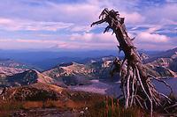Standing Dead Tree on Mt. Margaret and Spirit Lake, Mt. St. Helens National Volcanic Monument, Washington, US