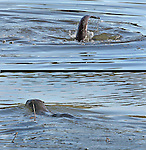 A  Sea otter was seen playing in a lagoon at Rodeo Beach, California.