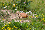 Prairie dog in Boulder, Colorado, John offers private photo tours of Boulder, Denver and Rocky Mountain National Park.