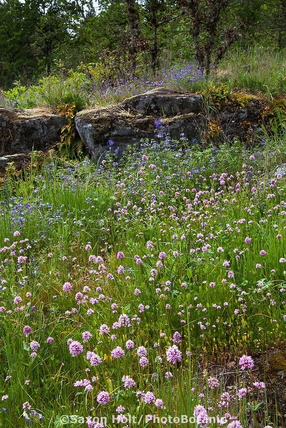 Rock ledge stone outcrop with wildflowers; Camassia Nature Preserve, The Nature Conservancy protected park, Portland Oregon
