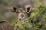 Red-billed oxpecker on head of Kudu by Rudi van Aarde