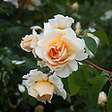 Rosa Crocus Rose ('Ausquest'), late June. A modern shrub rose from David Austin, 2000.  Soft apricot-coloured flowers, with pale cream outer petals, turning creamy white as they age.