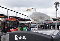 Nederland Leiden 2021.   Zilvermeeuw op een prullenbak bij het station.   Foto ANP / Berlinda van Dam