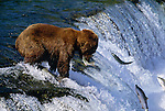 Brown bear catching salmon at Brooks Falls, Katmai National Park, Alaska